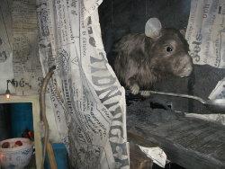 [Big Rodent]